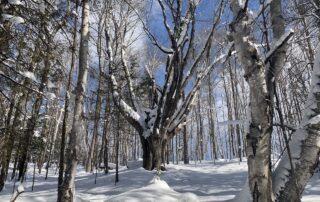 grandmother maple tree